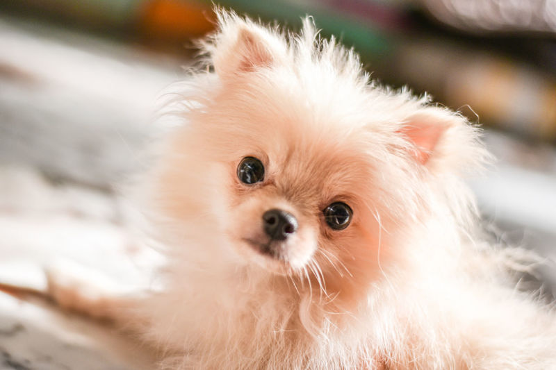 Light brown Pomeranian puppy looking to camera in marble floor room in bokeh background Mammal Domestic Animal Animal Themes One Animal Domestic Animals Pets Dog Canine Looking At Camera Portrait Vertebrate Pomeranian Close-up Focus On Foreground Animal Hair No People Cute Small Animal Body Part Animal Head  Persian Cat  Whisker Pomeranian Puppy Doggy Adorable Happy Bokeh Looking Light And Shadow Brown Fluffy Blurred Background Lying Down