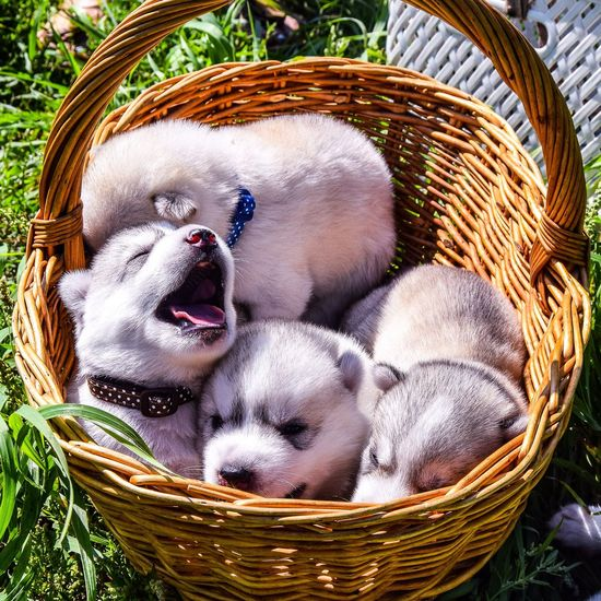 Close-up of puppies in basket