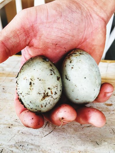 Mallard Duck Eggs Gardners Hands Dirty Fingers
