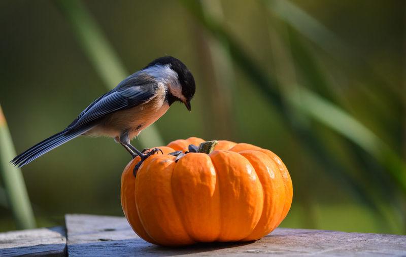 Close-up of bird perching on pumpkin