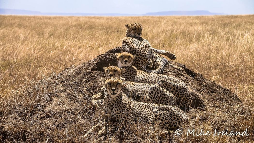A coalition of Cheetas, Serengeti, Africa Animal Themes Animal Wildlife Animals In The Wild No People Nature Day Outdoors Mammal Cheetah Leopard Africa Serengeti EyeEmNewHere EyeEm Nature Lover
