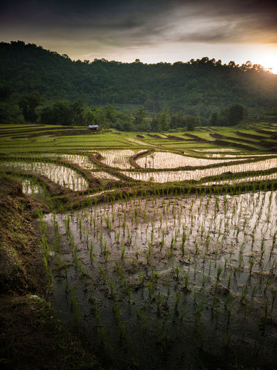 Agriculture Field Farm Rural Scene Tree Pattern Nature Beauty In Nature Landscape Outdoors Growth Tranquility Day Rice Paddy No People Scenics Sky