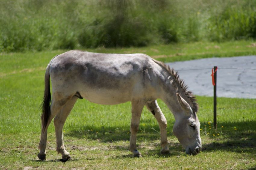 Animal Themes Domestic Animals Field Grass Grazing Horse Livestock Mammal Nature One Animal Outdoors Side View Standing