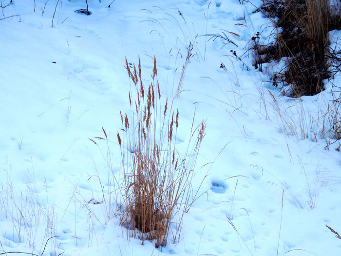 Frozen tall grass coming out of the snow in winter Snow Winter Cold Temperature Nature Plant Beauty In Nature White Color Tranquility Covering Day No People Frozen Land Tree Field Scenics - Nature Water Tranquil Scene Environment Twigs Nunavik Kuujjuaq