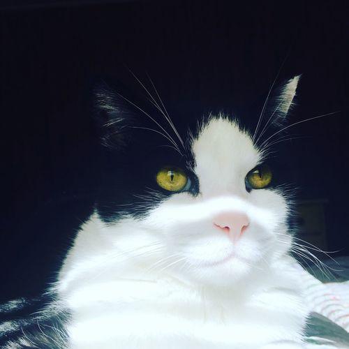 Pet Portraits Feline Cat Shadow Domestic Animals Master Bentley Domestic Cat