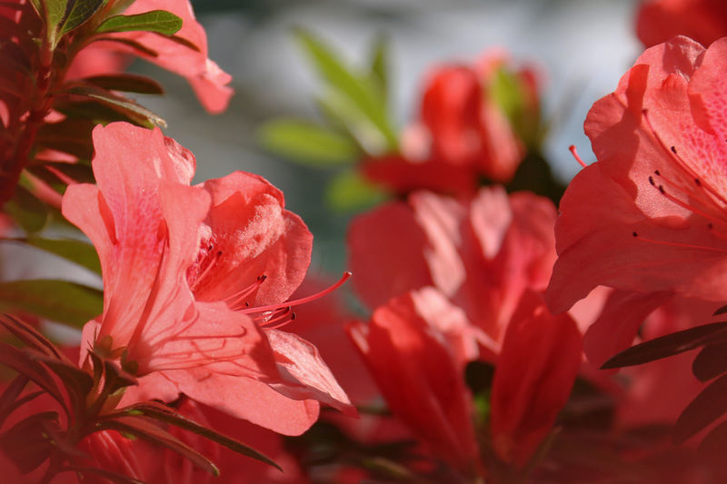 Azalea Azaleas In Bloom Flowering Plant Flower Vulnerability  Beauty In Nature Plant Petal Fragility Growth Close-up Red Freshness Inflorescence Flower Head Day Nature No People Botany Selective Focus Focus On Foreground Outdoors Pollen Springtime Red Flower