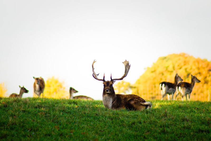 Deer on grassy field against clear sky