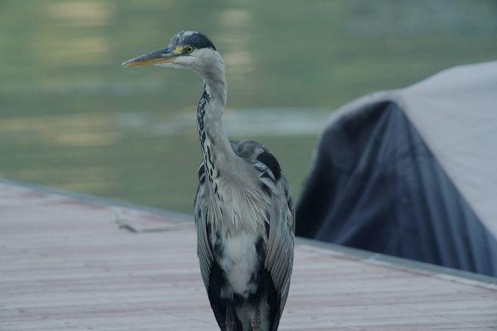 Lucariva Acqua Water Airone Cenerino Uccello Wild Bird Selvatico Lake Tamron150600mm Lago Di Como Lago Italy Sony A7rm2 Soligor2x Luca Riva Bird Airone Uccelli Hypertele Birds