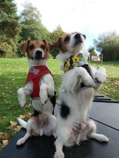 Meerkats pose MyFavorite  Favouritepose Outdoors Jack Russell 2dogs MyFavorite  Nopeople Terrier Pets Tree Dog Grass Sky Pet Clothing Pampered Pets Animal Face Pet Equipment Lap Dog