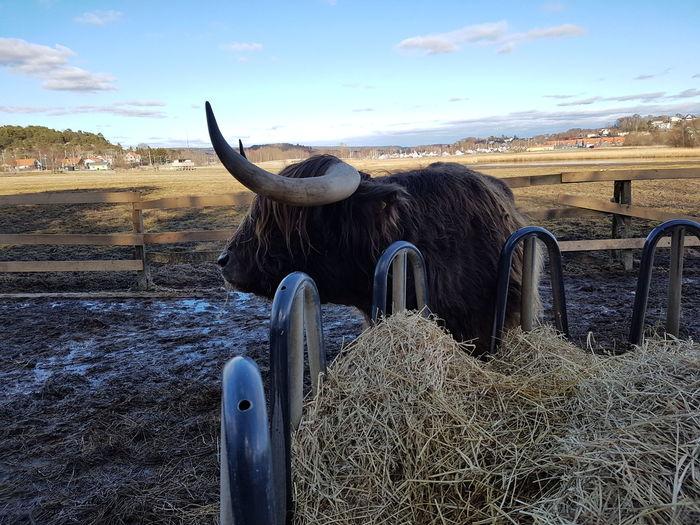 Here Belongs To Me EyeEmBestPics Taking Photos My Best Shot EyeEm Best Shots No People Bestpic Highland Cattle Highland Cows Highland Cattle. LandscapeHighland Cattle. Landscape Animal