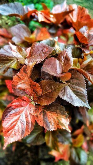 buety of leafs