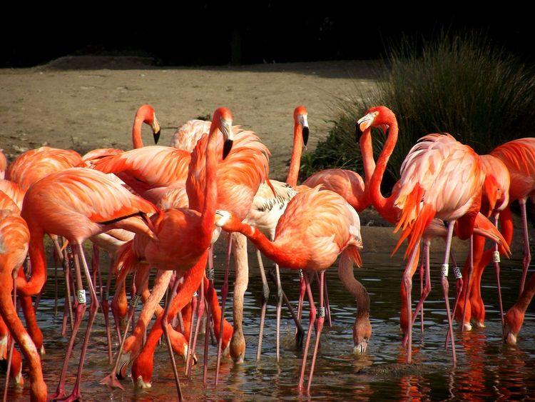 Flamingos Flamingo Pink Birds Slimbridge Colours Of Nature Eyem Nature Lovers  Birds_collection Femalephotographerofthemonth Eyemphotography Walking Around