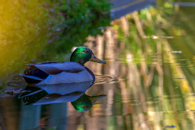 Bird Animal Wildlife Animal Animal Themes Animals In The Wild Vertebrate Water Lake One Animal No People Duck Nature Reflection Day Focus On Foreground Beauty In Nature Poultry Waterfront Close-up Outdoors