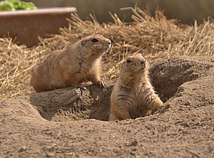 Close-Up Of Two Prairie Dogs