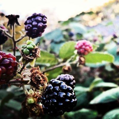 Photooftheday Blackberry Macro Manchester