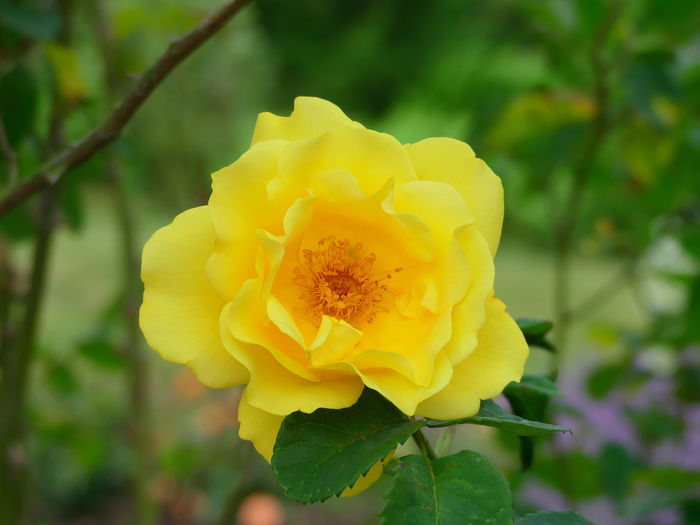 Close-up Flower Flower Head Focus On Foreground Nature Plant Rose - Flower Rose🌹 Yellow Yellow Rose