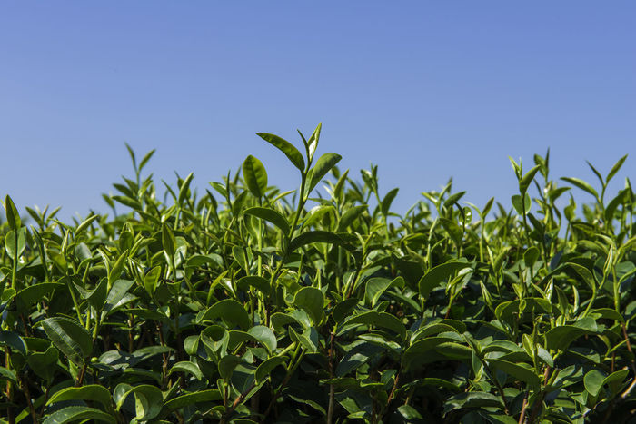 green tea plant with the blue sky Beverage Earth Growth Agriculture Beauty In Nature Bud Clear Sky Crop  Day Farm Field Food Freshness Garden Green Color Growth Harvest Leaf Nature No People Organic Outdoors Plant Sky Tea Plant