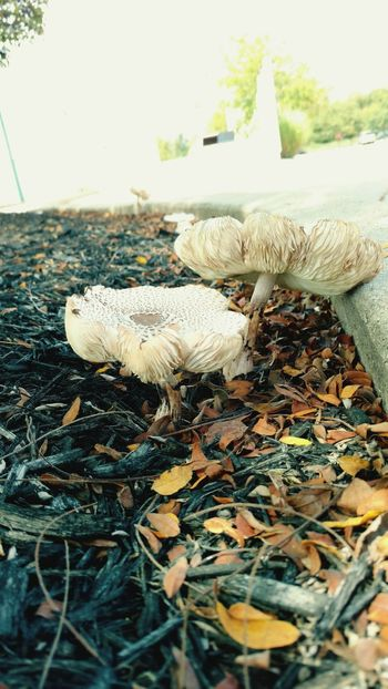 Mushrooms, mulch