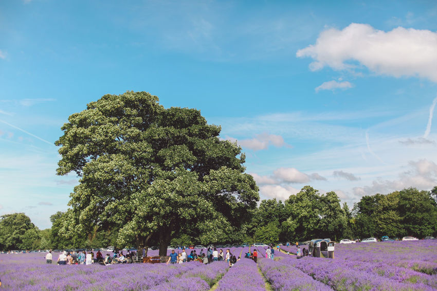 Beauty In Nature Blue Cloud Cloud - Sky Day Enjoyment Green Color Group Of People Growth Large Group Of People Lavanda Lavander Lavander Flowers Lavanderfields Leisure Activity Lifestyles Mixed Age Range Nature Outdoors Relaxation Scenics Sky Tourist Tree Vacations