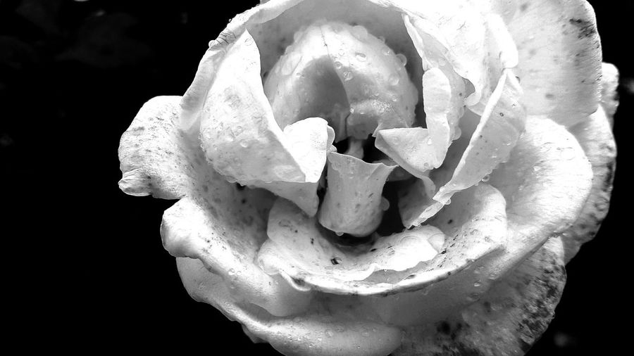 A closeup black and white photo of a single white rose bloom with rain drops on it Fragile Fragile Beauty Fragile Nature Pure Pure Beauty Purity Nature Flower Flower Head Rain Raindrops Rain Drops Wet Wet Flower Wet Rose Wet Rose Petals Black And White Flower Black Background Flower Head Close-up Single Rose Rose - Flower Blooming Pollen Single Flower Rose Petals Wild Rose In Bloom Petal