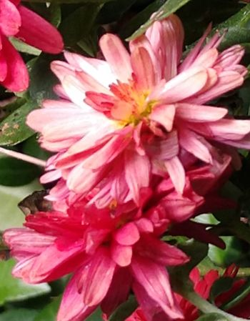 cantata Artistes Flower Head Flower Pink Color Petal Red Close-up Plant