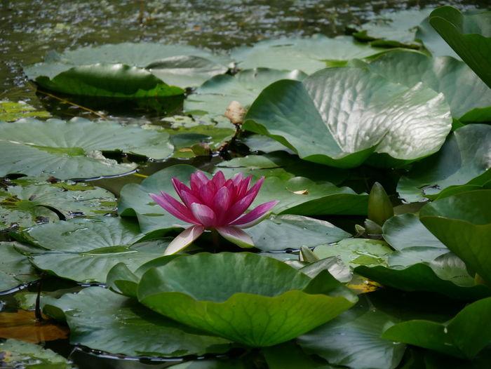 Blumen Blumenpracht🌺🍃 Blumenfotografie Flower Blume Nature Nature Photography Natur Seerose Seerosenteich Seerosen Seerosenbild Water Lily Water Lily, Flower Water Lily Flower