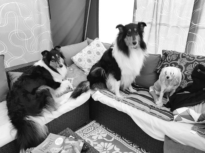 Domestic Animals Pets Dog Animal Themes Home Interior Eyeemoninstagram Eyeem On Instagram Collies Camping Life Camping Trip! No People Camping Skreastrand Dogs Of EyeEm Dog Love Love To Take Photos ❤ Cool_capture_ Campinglife Camping Trip Best Pic