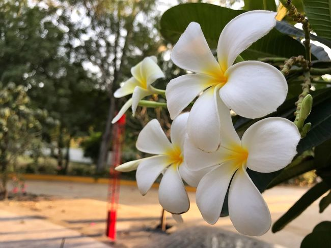 Flower Petal Beauty In Nature Fragility Flower Head Growth Nature Focus On Foreground White Color Freshness Day Close-up Blooming Tree No People Outdoors Frangipani Springtime Periwinkle ShotOnIphone White Blur