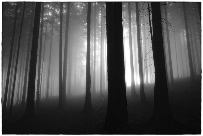foggy forrest VI Beauty In Nature Bw Fog Forest Landscape Lawoe Mist Nature Outdoors Tranquil Scene Tranquility Tree WoodLand