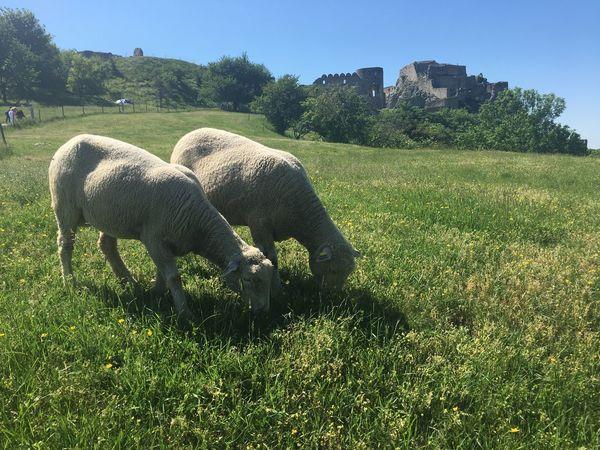 Sheep🐑 Sheeps Sheep Plant Grass Mammal Animal Animal Themes Vertebrate Field Domestic Animals Green Color No People Nature Sunlight