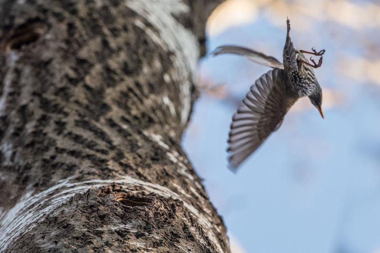 Starling Animal