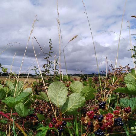 Blackberry n bramble Blackberry Blackberry - Fruit EyeEm Selects Flower Water Sky Close-up Cloud - Sky Plant Growing Thorn