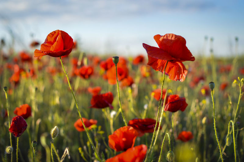 Close-up of poppy flowers blooming in field