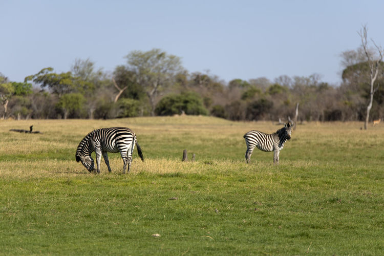 View of a zebra on field