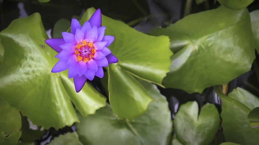 Lotus, dominant, purple