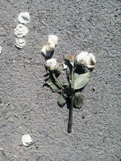 Rosé Dead Rose Dead Nature Dead Flowers White Rose