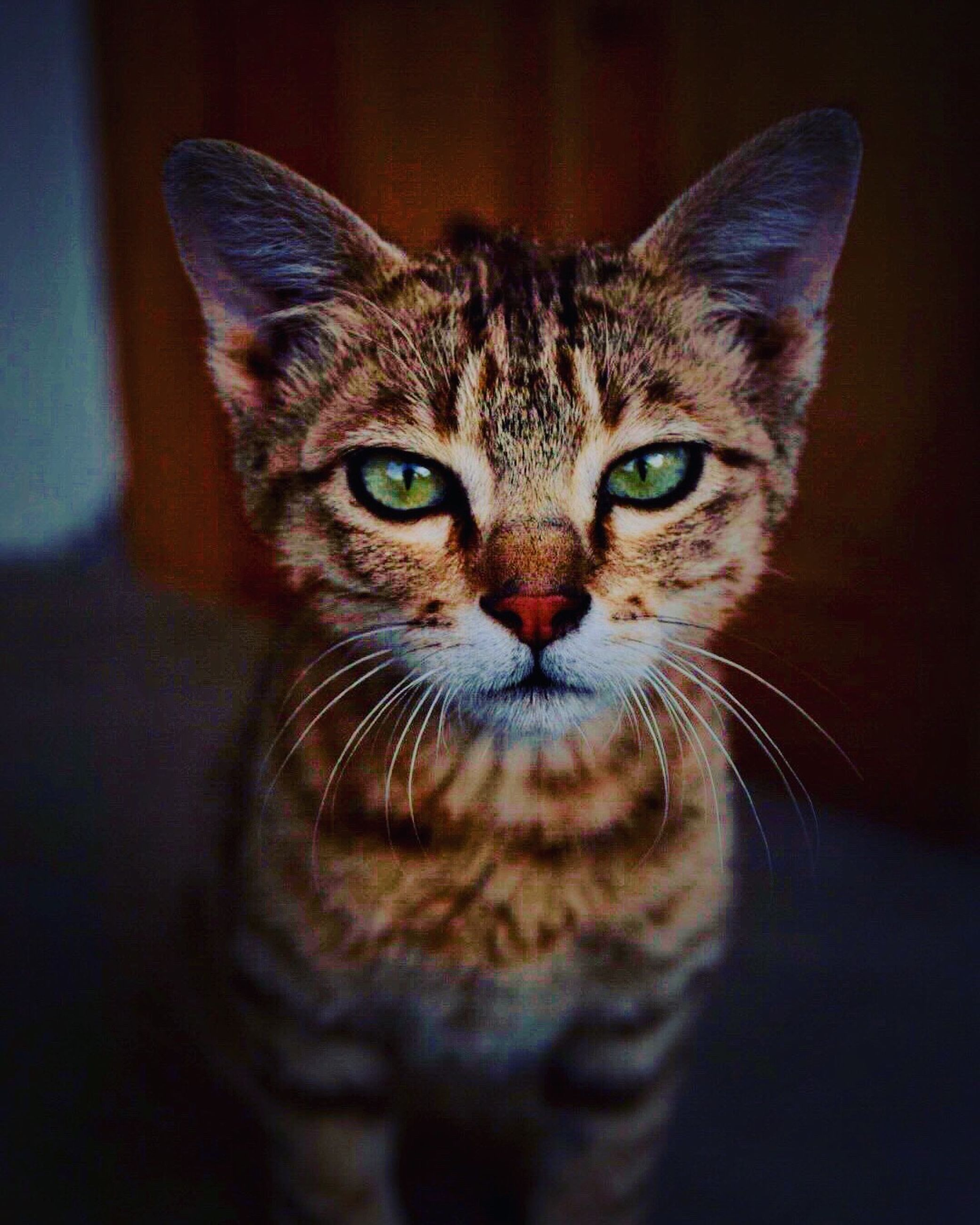 mammal, portrait, domestic cat, pets, cat, domestic animals, looking at camera, feline, domestic, one animal, whisker, no people, close-up, indoors, animal body part, front view, vertebrate, animal eye, tabby