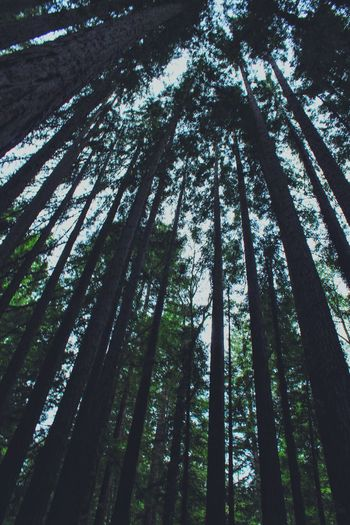 the revenant without the snow Nature_collection Landscape Look Up And Thrive Forest Photography Pines Redwoods in The Mountains of Santa Cruz California Revenant The Great Outdoors - 2015 EyeEm Awards Weekend
