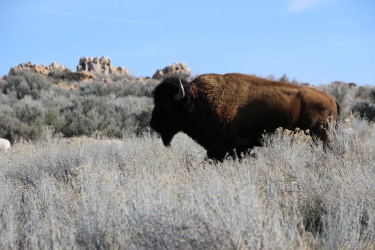 Side View Of Buffalo On Field