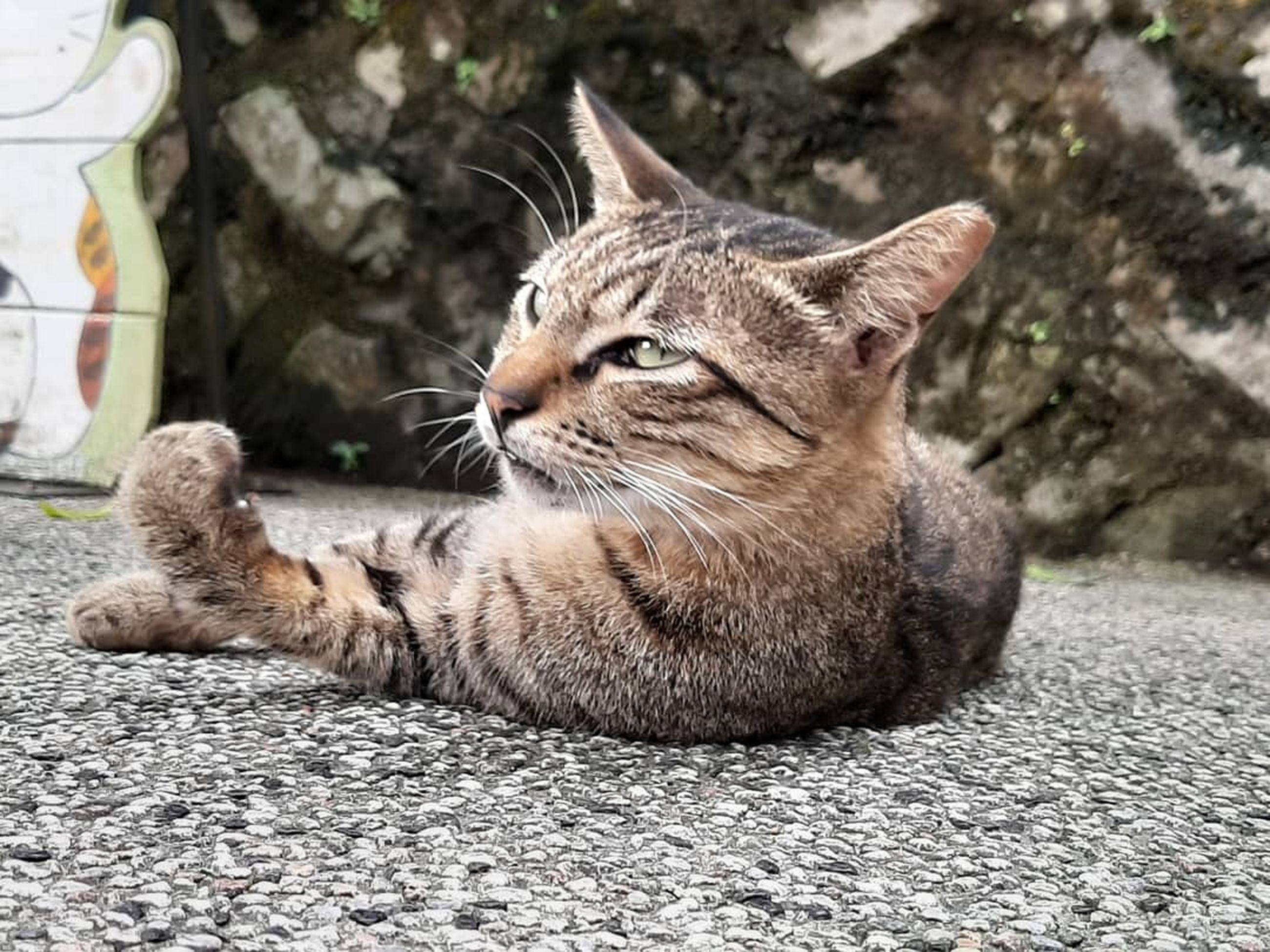 mammal, animal themes, animal, pets, domestic, domestic animals, cat, feline, domestic cat, one animal, vertebrate, whisker, relaxation, no people, focus on foreground, close-up, day, looking, lying down, nature, tabby, animal head