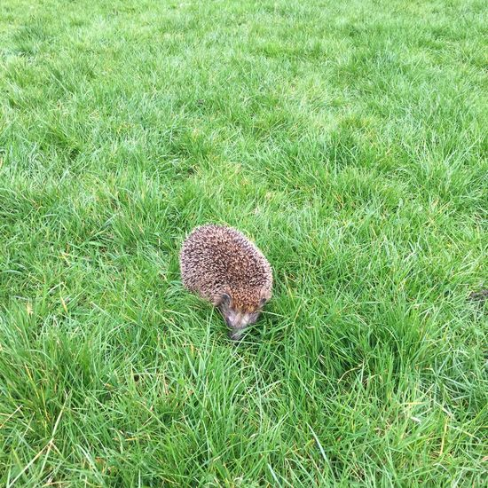 Egel Hedgehog Grassy Green