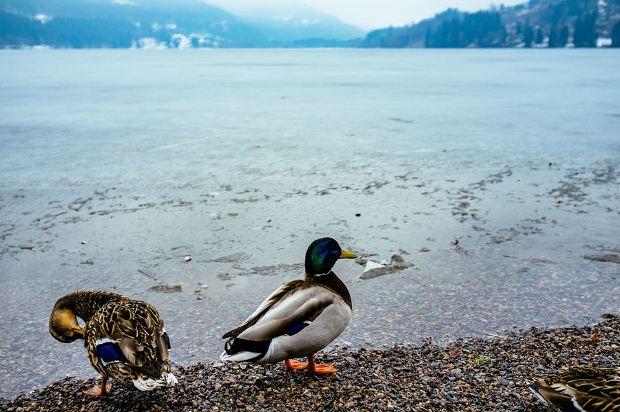 Animal Themes Animals In The Wild Beach Beauty In Nature Bird Day Duck Field High Angle View Lake Lakeshore Nature One Animal Outdoors Sand Seagull Shore Tranquility Water Wildlife