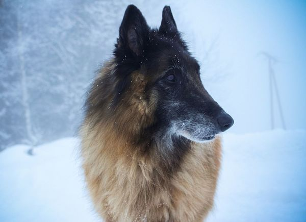 Half wolf Half amazing Belgian Shepherd EyeEm Selects Snow Cold Temperature Dog Winter Pets Animal Animal Hair One Animal Black Color Snowing Frozen Domestic Animals Snowflake Outdoors Animal Themes Nature EyeEmNewHere