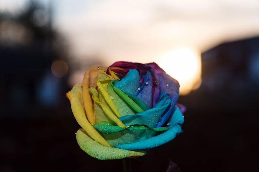 Rainbow roses 🌈 for my girlfriend, couple of photos to get my money's worth 😊 Flower Rose - Flower Freshness Focus On Foreground Fragility Close-up Petal Beauty In Nature No People Flower Head Nature Outdoors Day Rainbow Colors Nikond750