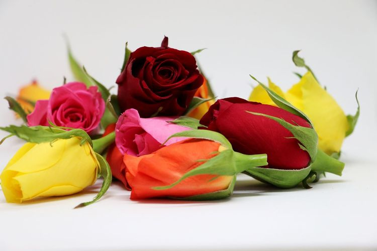 colorful roses are lying in the studio Colored Pink Rose Romantic Beauty In Nature Close-up Day Flower Flower Head Fragility Freshness Gift Indoors  Leaf Nature No People Orange Rose Petal Red Red Rose Red Rose 🌹 Rose - Flower Studio Shot White Background Yellow Yellow Rose