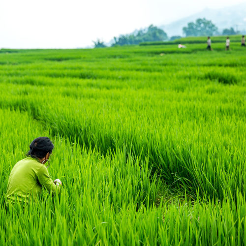 Scenic view of rice paddy on field
