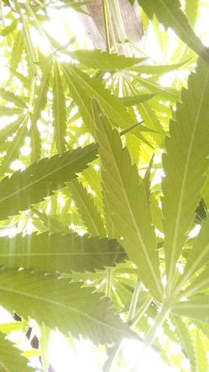 Sunset Nature On Your Doorstep Cannabis Ligalize It For Happy Summer Weed Ligalize Cannabis
