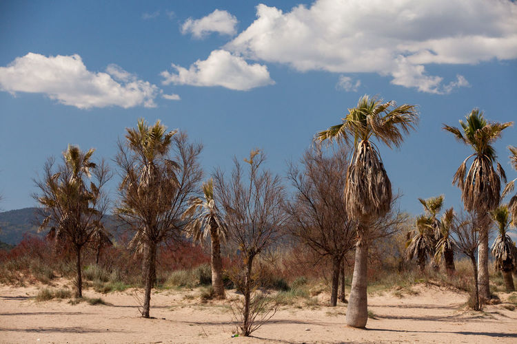 Trees on desert against sky