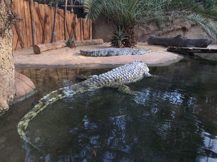 Crocodile Water