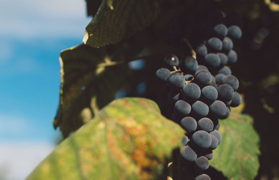 Vine Vineyard Plant Harvest Harvesting Harvest Time Autumn Close-up Fruit Nature Day Focus On Foreground No People Healthy Eating Growth Plant Part Food Leaf Food And Drink Wellbeing Freshness Outdoors Beauty In Nature Berry Fruit Selective Focus Grape Winemaking
